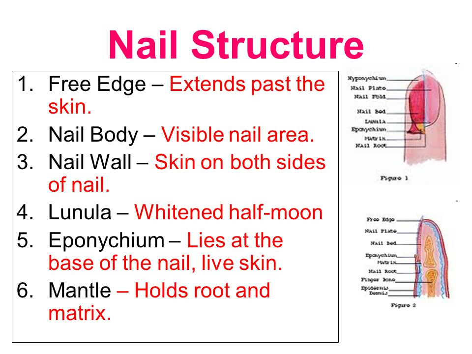 Nail Structure Nail Growth Nail Diseases, Disorders, and Conditions ...