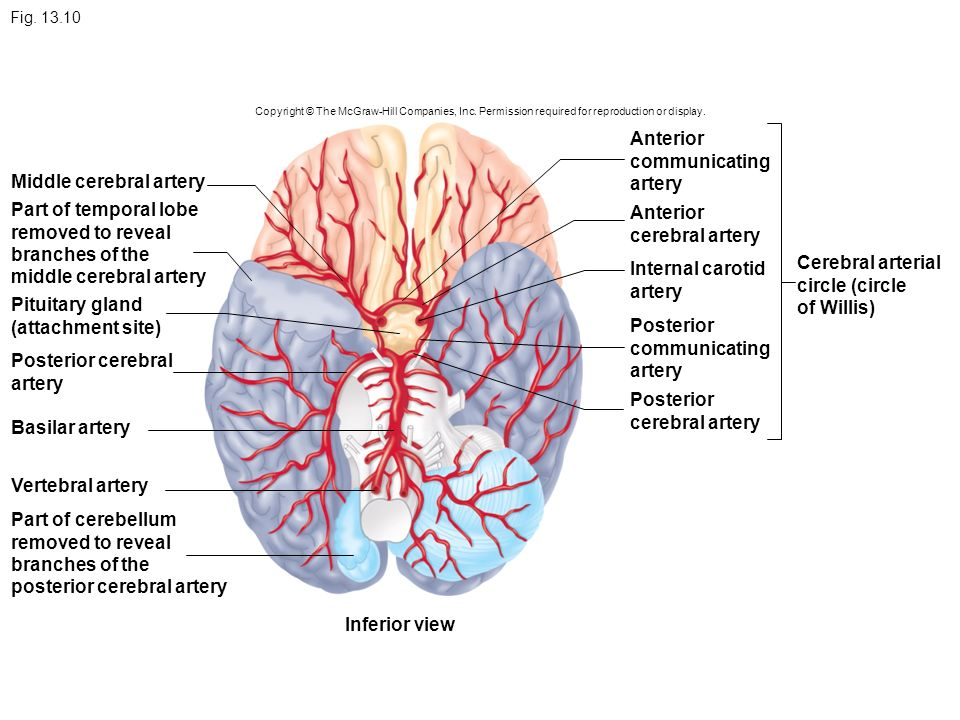 Anatomy of cerebral arteries