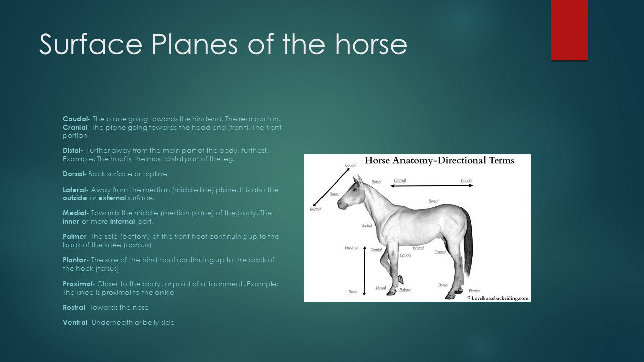 Equine Skeletal system - ppt video online download