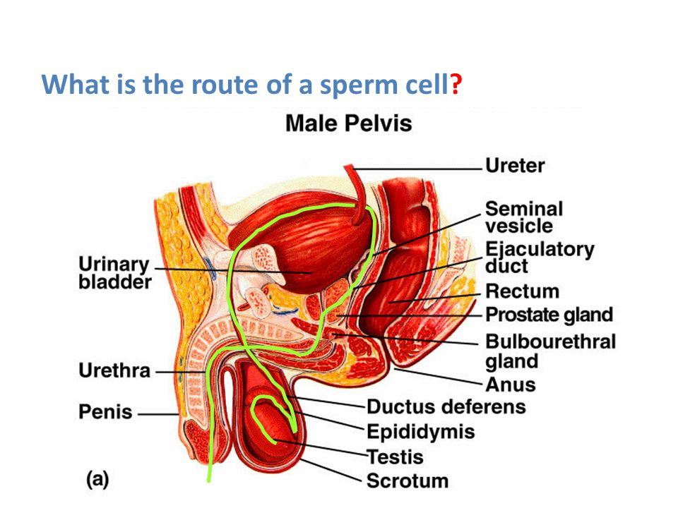 What is the route of a sperm cell? - ppt video online download