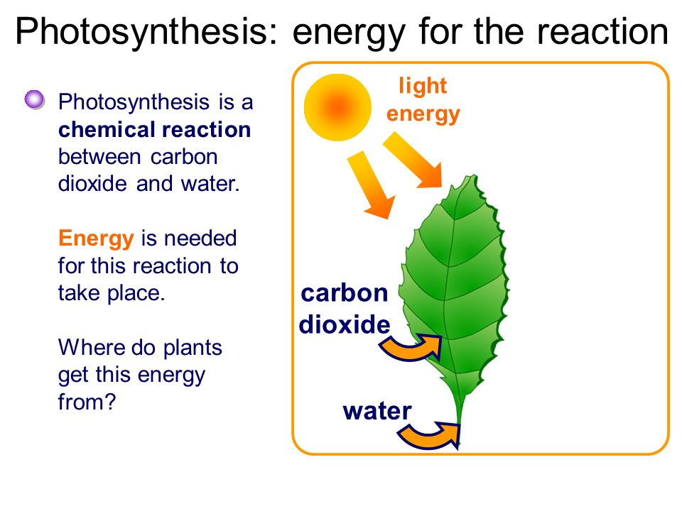 photosythesis and elodia In photosynthesis, part 1 , students modeled the process of photosynthesis at a high level in this lesson, students will receive a second chunk by drilling deeper into the content to learn what occurs in each of the two cycles of photosynthesis.