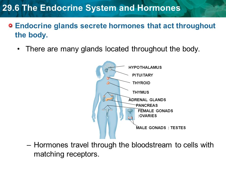 Hormones Influence A Cells Activities By Entering The Cell Or