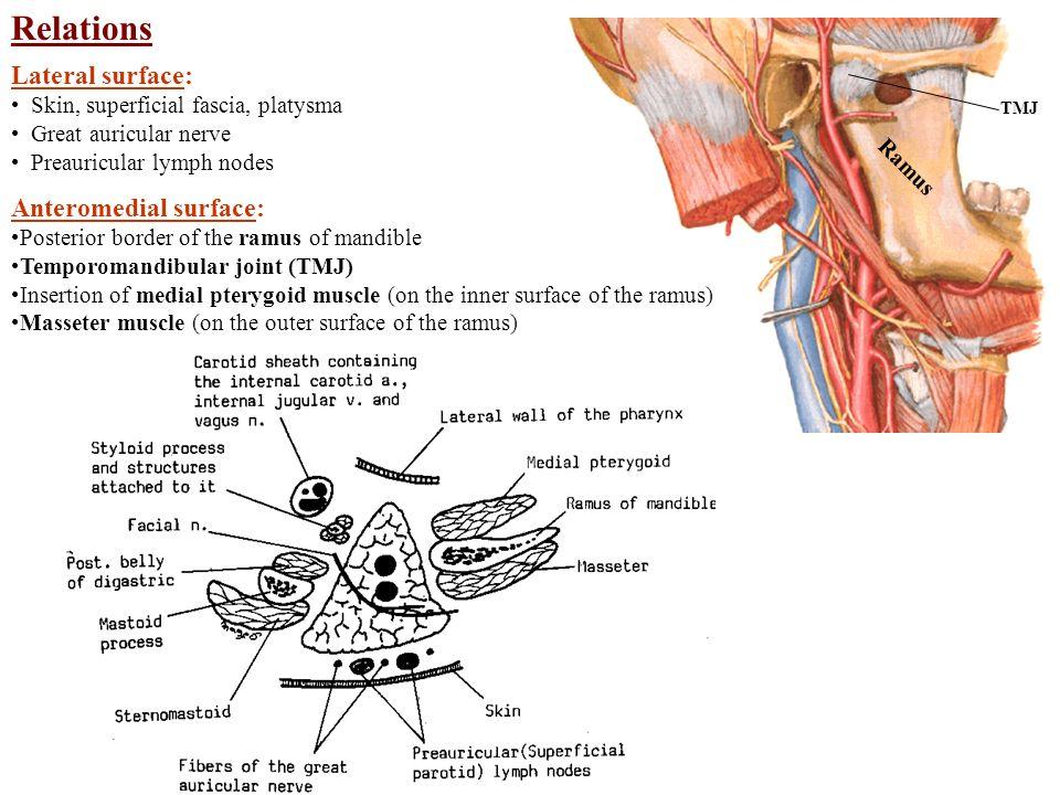 Parotid Region and Muscles of Mastication Parotid Gland - ppt video ...
