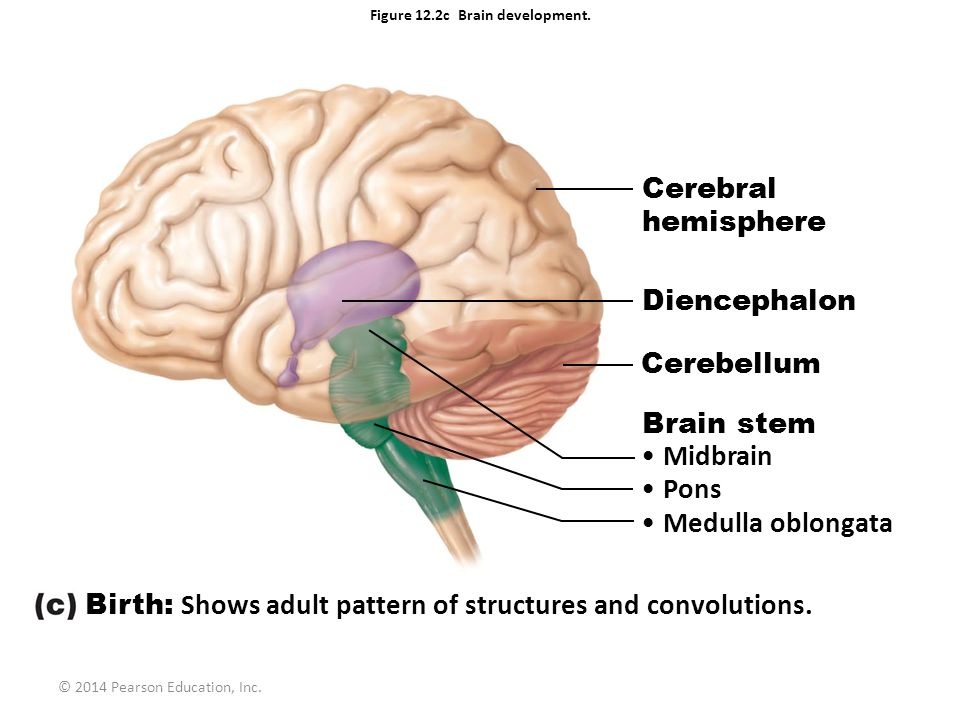 Figure 121 embryonic development of the human brain ppt video figure 122c brain development ccuart Image collections