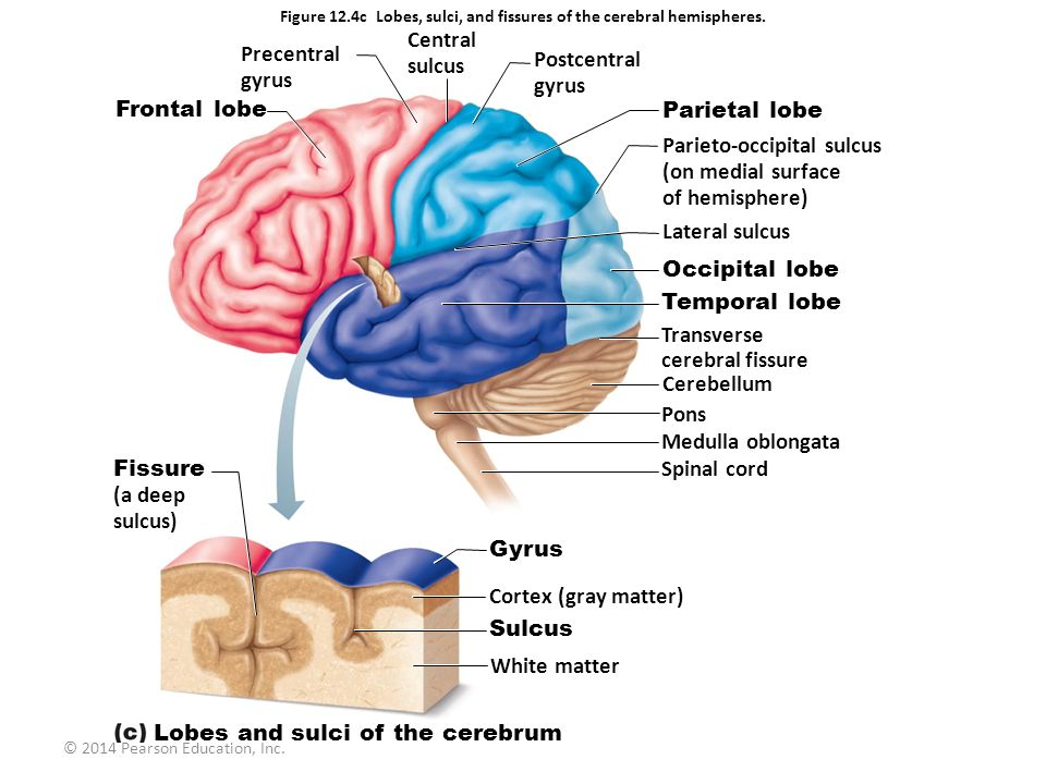 Parts Of The Brain Diagram Pearson House Wiring Diagram Symbols