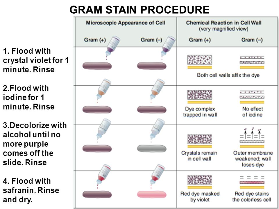 Preparation of a smear gram stain acid fast stain ppt video online 9 gram ccuart