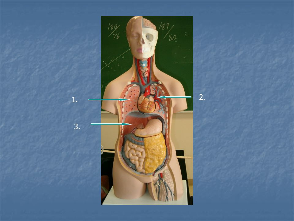 Label the organs 1. brain 2. Thyroid gland 3. Trachea 5. heart 4 ...