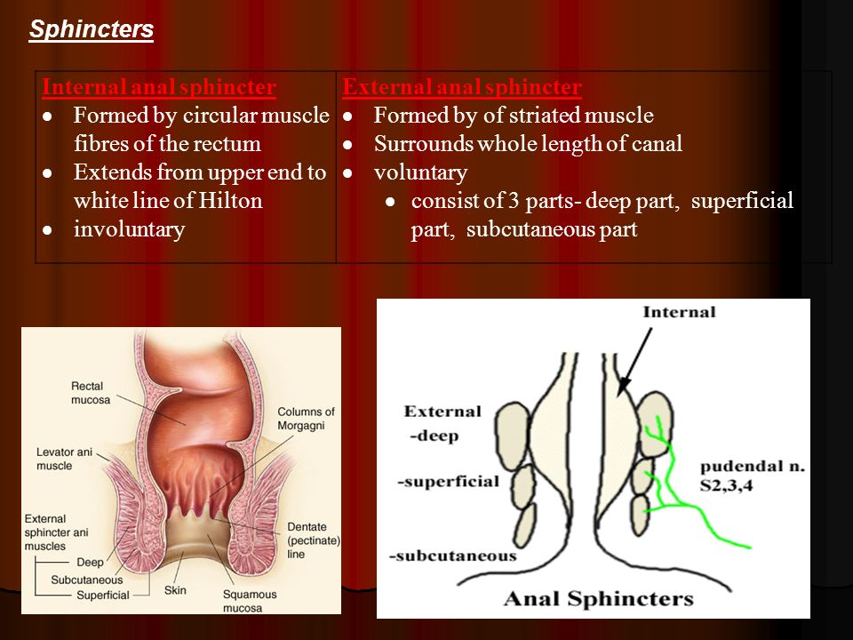 Sphincters Internal anal sphincter. Formed by circular muscle fibres of the rectum. Extends from upper end to white line of Hilton.
