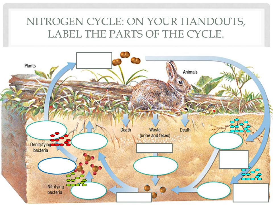 Nitrogen Cycle Diagram Labeled Basic Guide Wiring Diagram