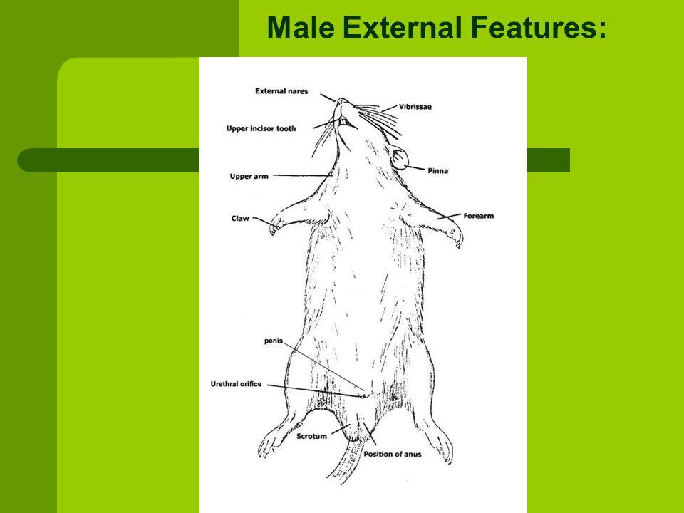 Rat External Anatomy Diagram - Online Schematic Diagram •