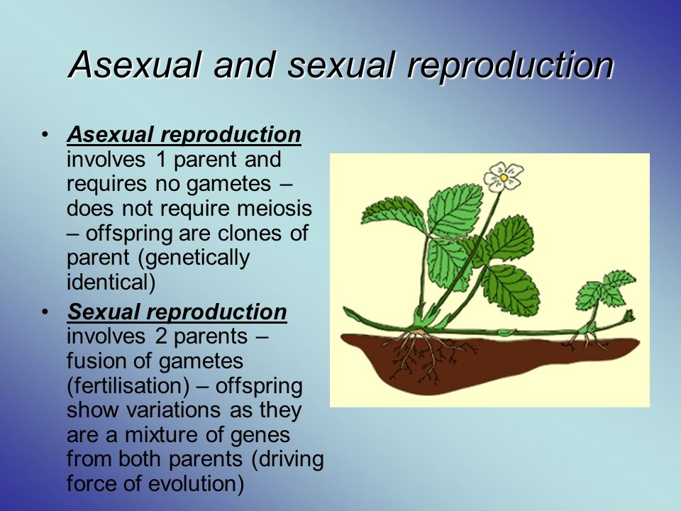 What is asexual reproduction in flowering plants