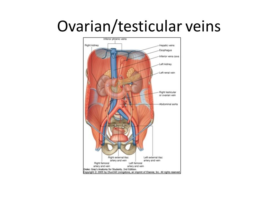 Luxury Testicular Vein Anatomy Ensign - Anatomy And Physiology ...