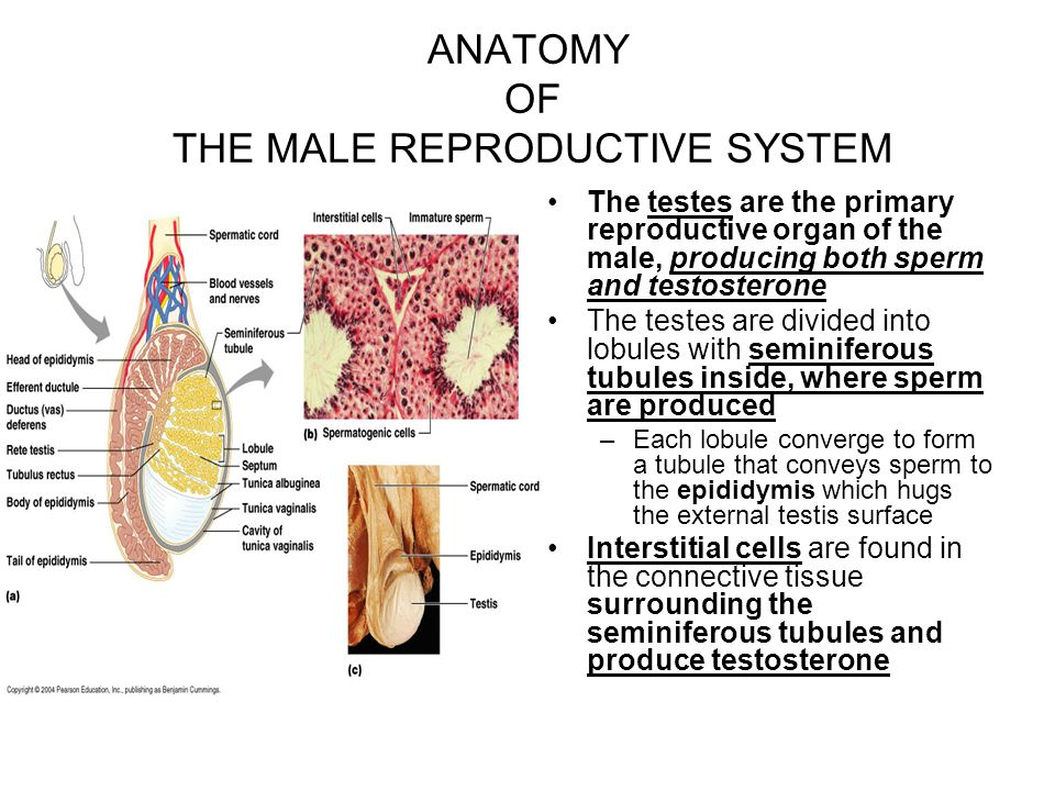 Reproductive Sytem Ppt Download