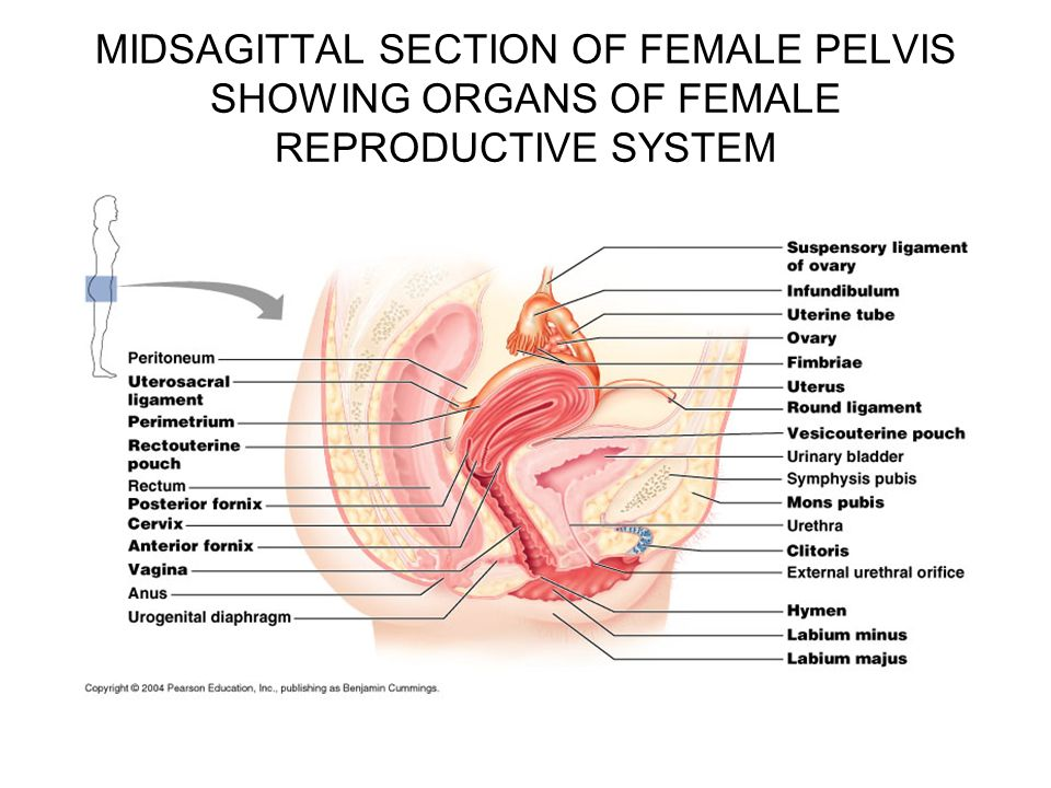 Tampon Diagram Of Female Reproductive System Online Schematic
