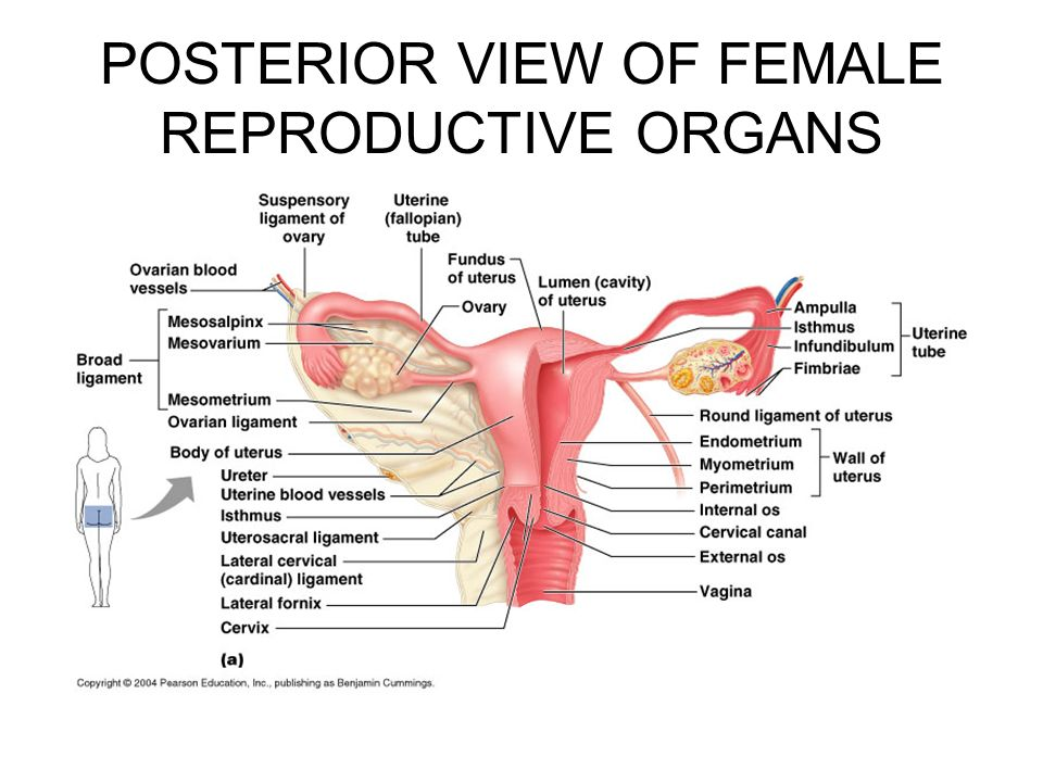 Reproductive Sytem Ppt Download
