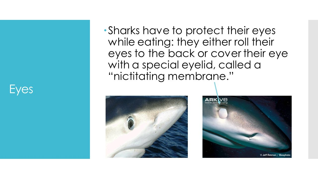 SHARK ANATOMY This will cover: Eyes Teeth Gills Fins Skin - ppt download