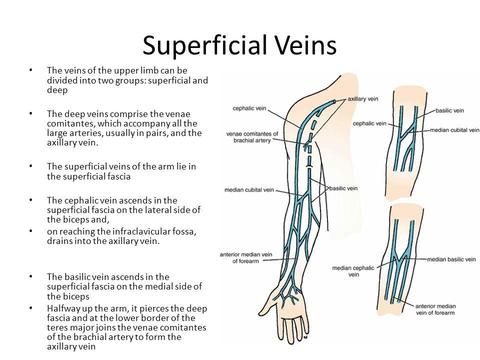 Nice Forearm Vein Anatomy Vignette - Human Anatomy Images ...