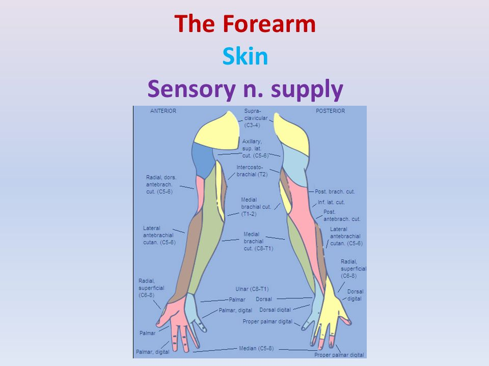 Fascial compartments of upper arm - ppt video online download
