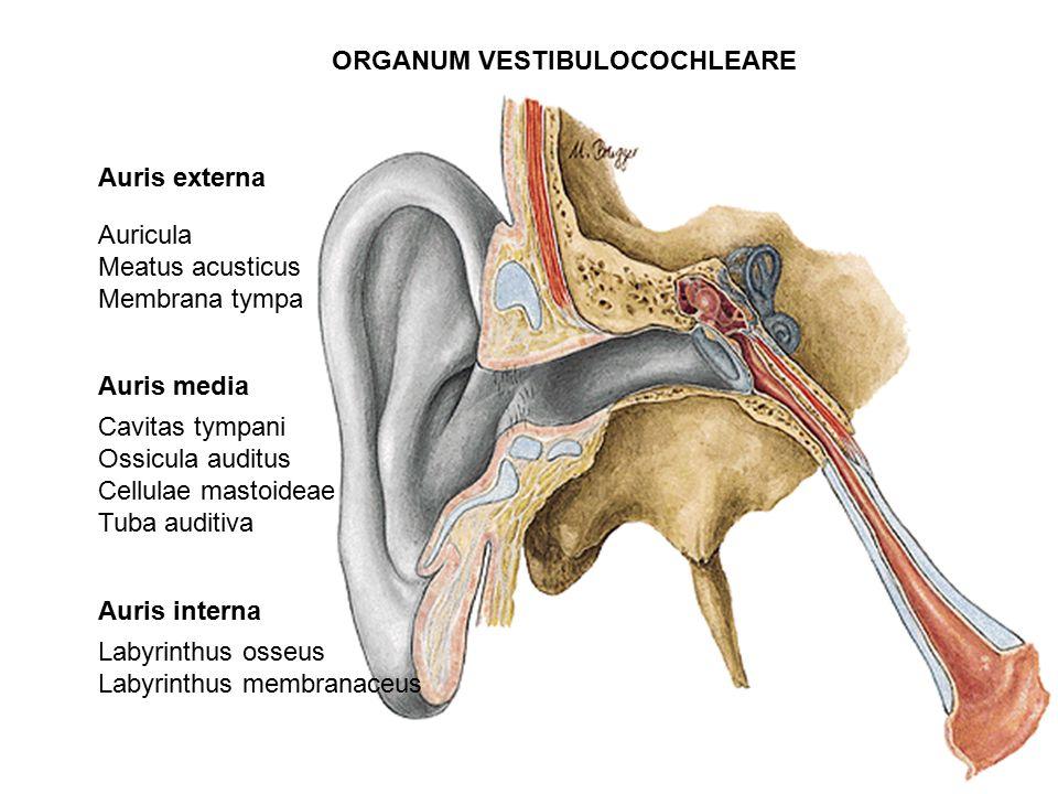 organum vestibulocochleare