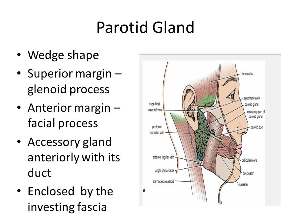The Salivary Glands Ppt Video Online Download