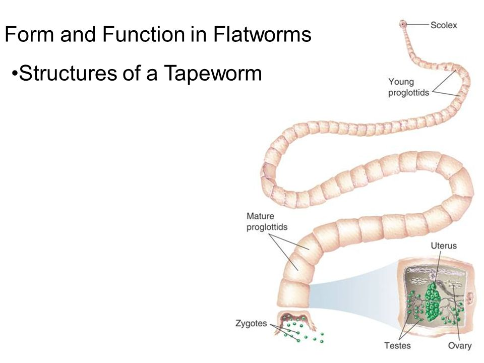 Worms Flatworms Roundworms And Rotifers Ppt Video Online Download