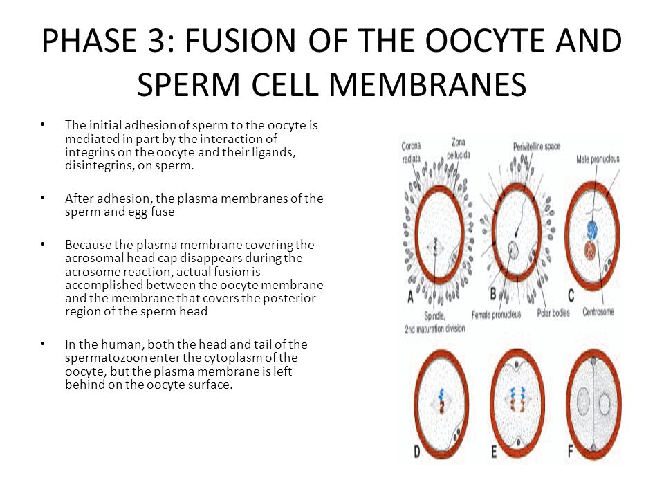 You sperm plasma membrane opinion