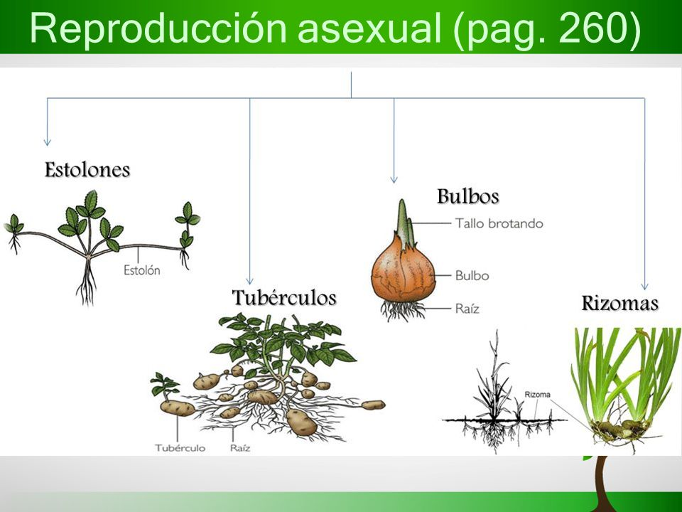 Estolones reproduccion asexual en