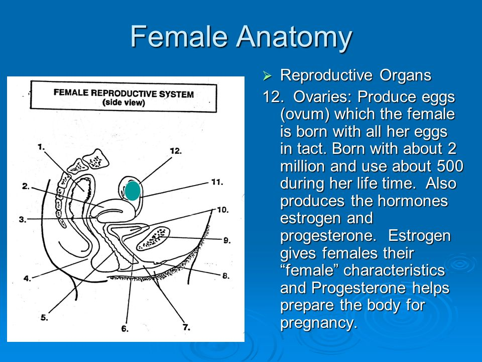 Picture Of Female Reproductive System And Parts Gallery - human ...