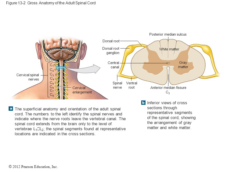 13 The Spinal Cord, Spinal Nerves, and Spinal Reflexes - ppt download
