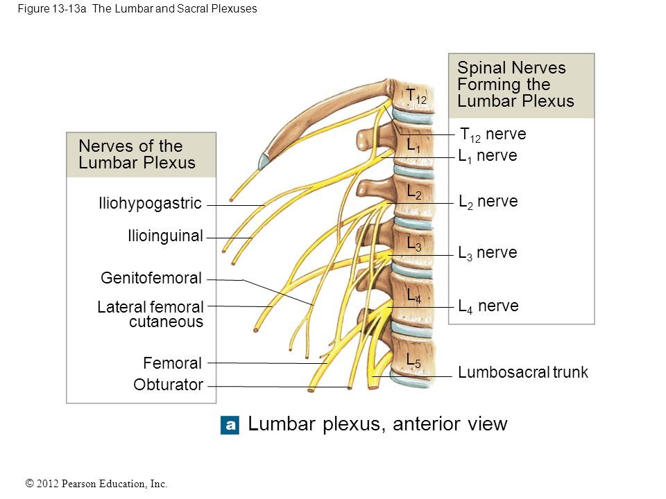 13 The Spinal Cord Spinal Nerves And Spinal Reflexes Ppt Download