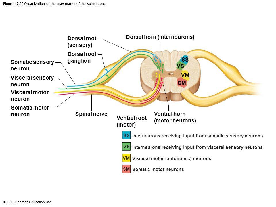 Senses Of Spinal Cord Diagram - House Wiring Diagram Symbols •