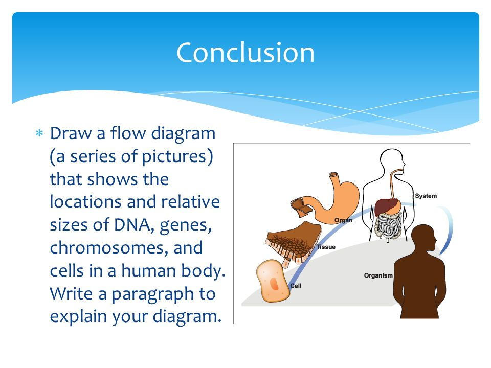 Activity 63 show me the genes ppt video online download 13 conclusion draw a flow diagram a series of pictures that shows the locations and relative sizes of dna genes chromosomes and cells in a human body ccuart Image collections