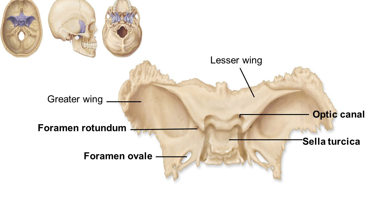 Enchanting Sella Turcica Anatomy Motif - Human Anatomy Images ...