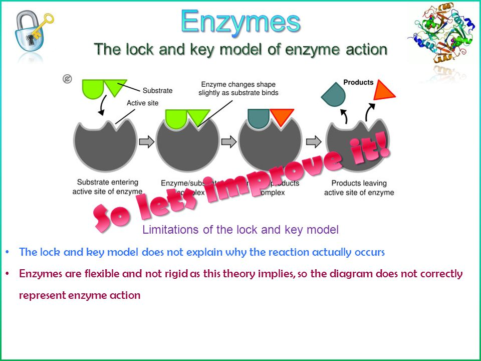 Enzymes learning objectives define enzyme ppt download enzymes the lock and key model of enzyme action ccuart Image collections