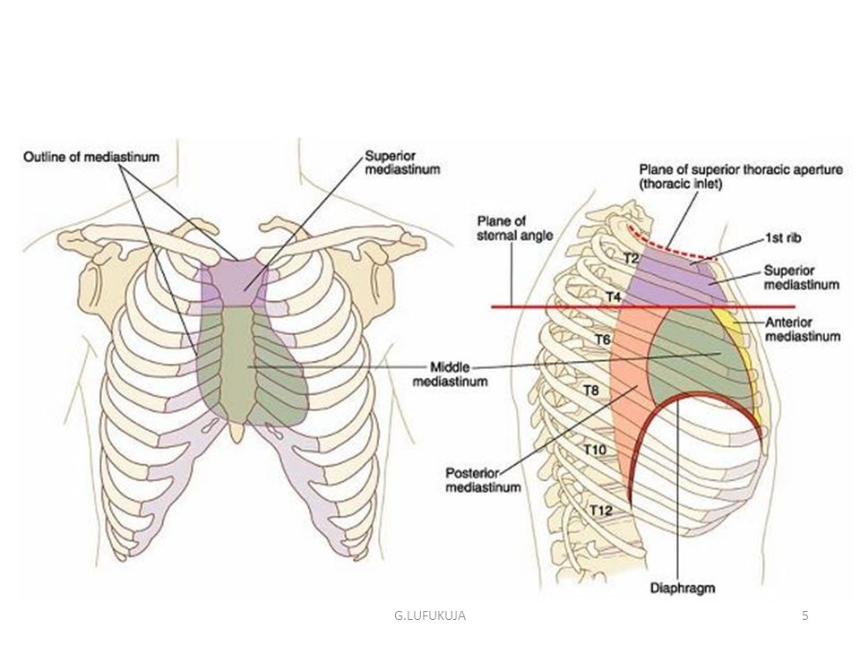 SURFACE ANATOMY & MARKINGS OF THE THORAX - ppt video online download