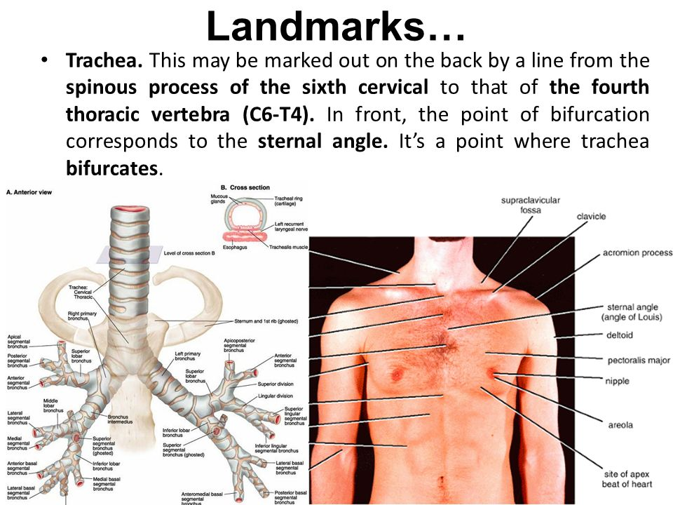 Perfect Thorax Surface Anatomy Image Collection Anatomy And