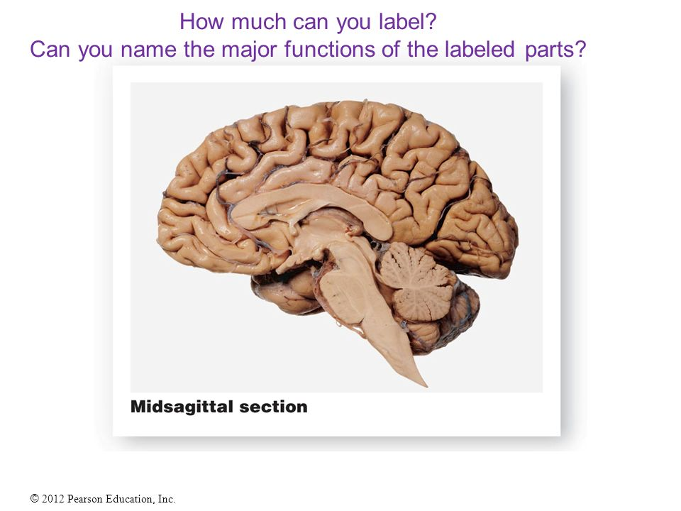 The Adult Human Brain Located in cranial cavity Weighs about 3 lb ...