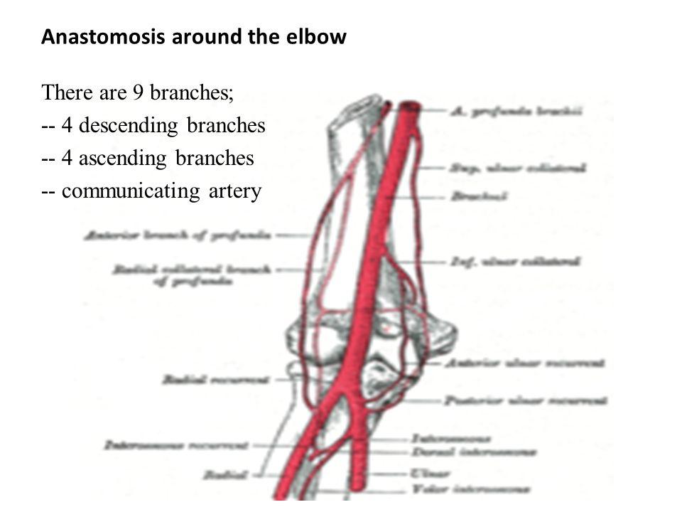Elbow Anastomosis Diagram - Complete Wiring Diagrams •