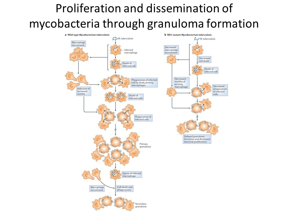 Proliferation and dissemination of mycobacteria through granuloma formation