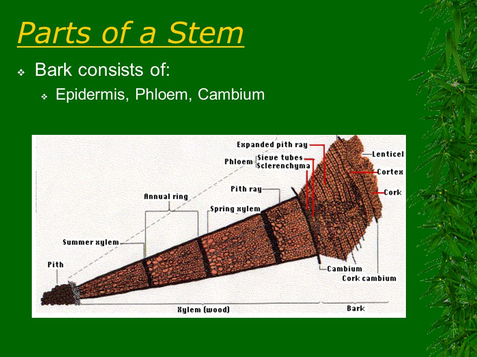 Parts of a Stem Bark consists of: Epidermis, Phloem, Cambium