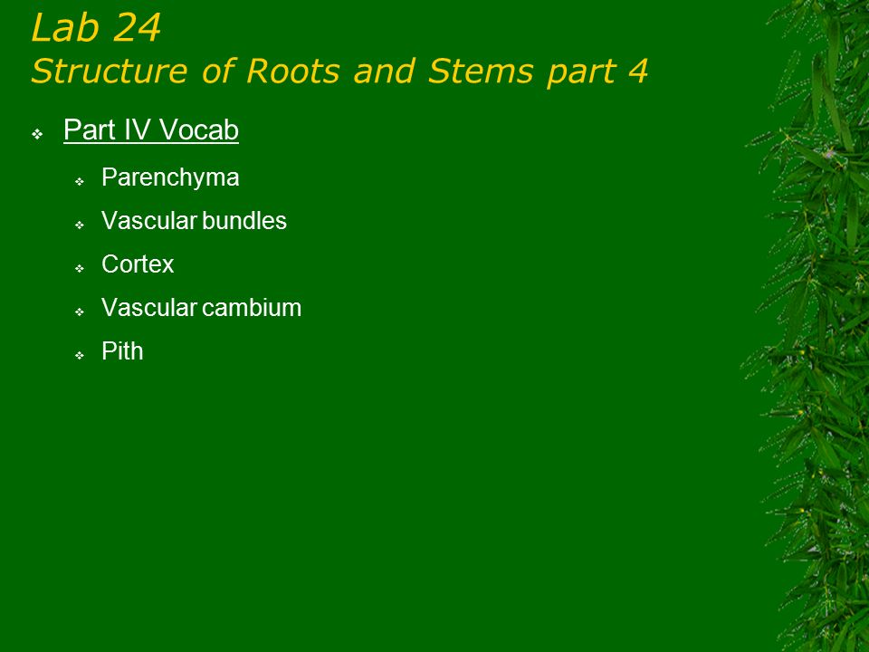 Lab 24 Structure of Roots and Stems part 4