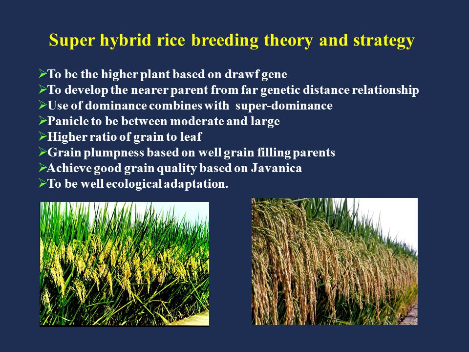 ACHIEVEMENTS AND DEVELOPMENT OF HYBRID RICE IN CHINA - ppt