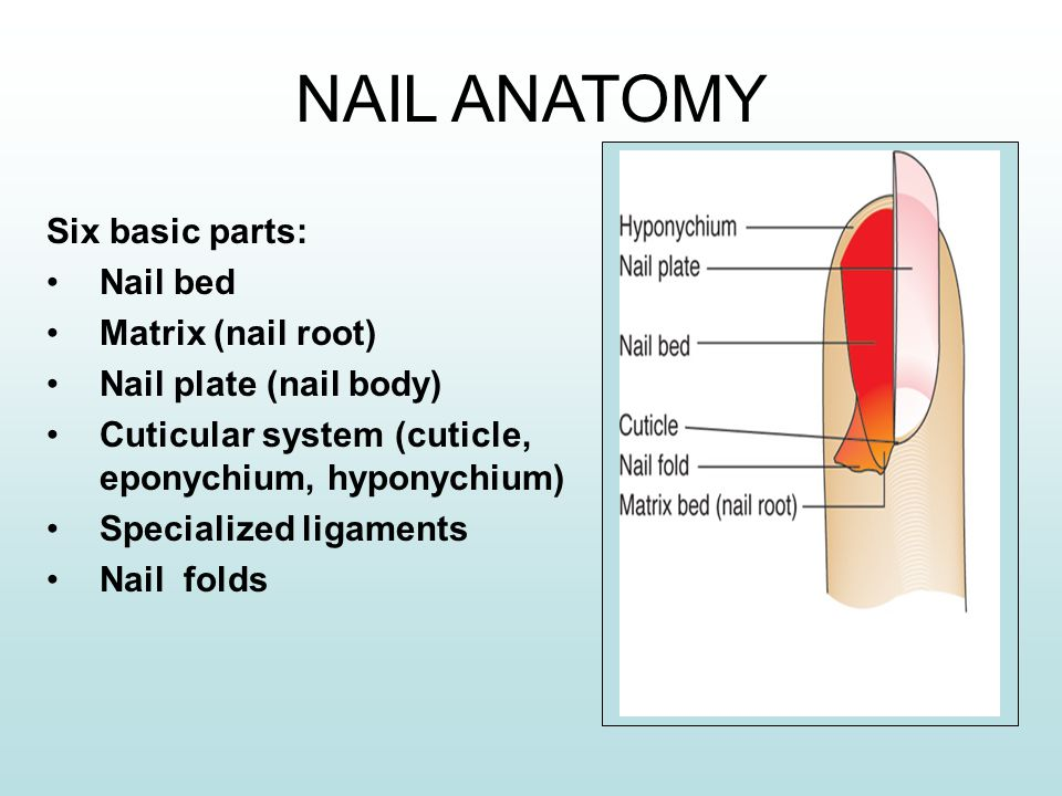 4 NAIL ANATOMY Six Basic Parts