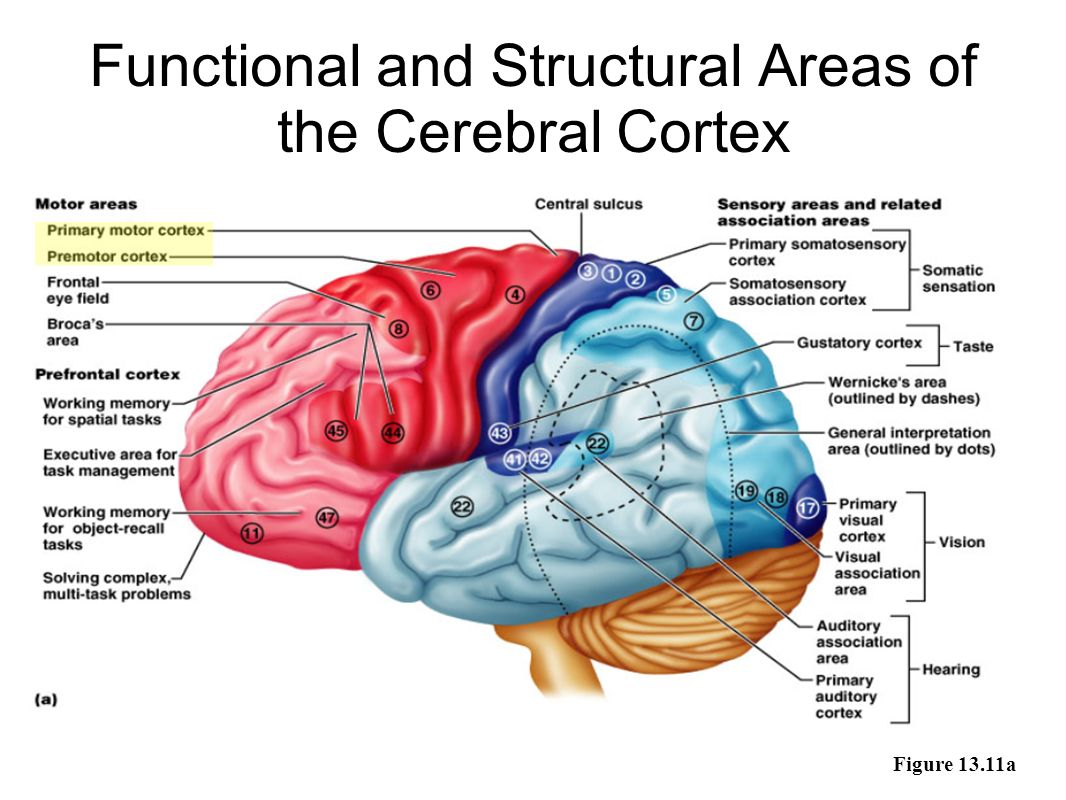 Fine Cerebral Cortex Function Inspiration - Anatomy and Physiology ...