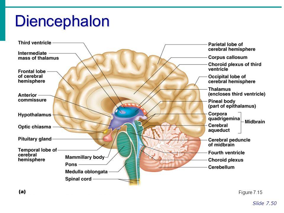 Regions Of The Brain Cerebral Hemispheres Diencephalon Brain Stem