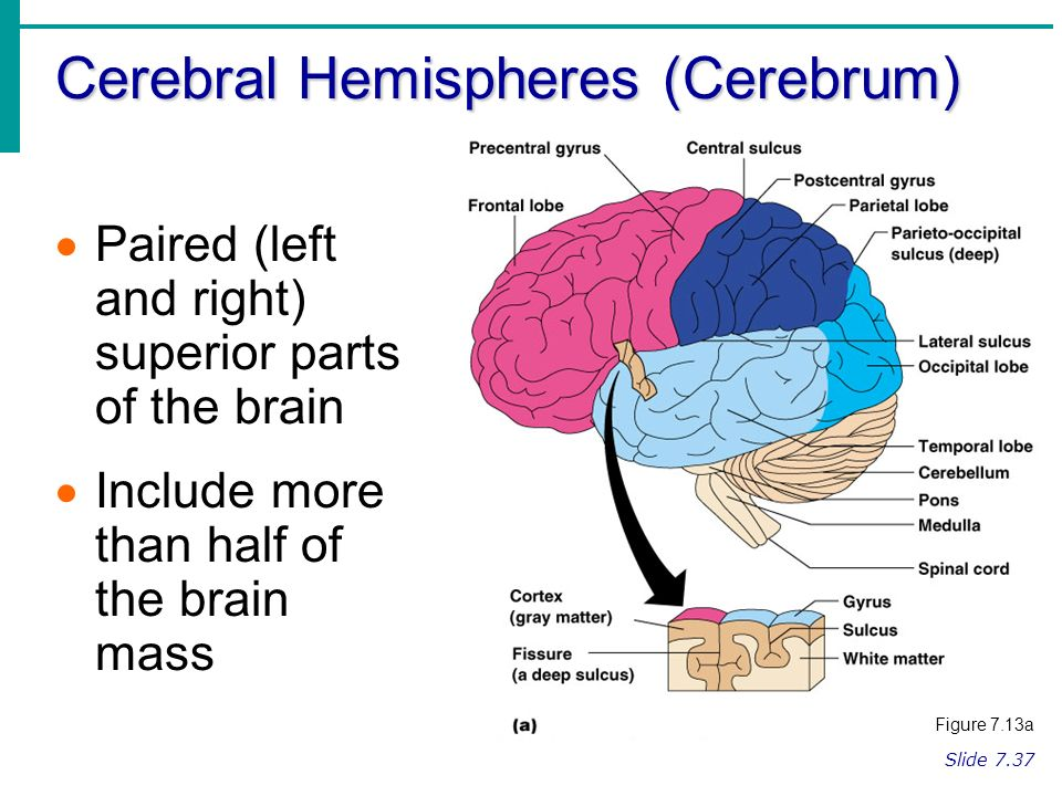 Regions of the brain cerebral hemispheres diencephalon brain stem 2 cerebral hemispheres ccuart Images