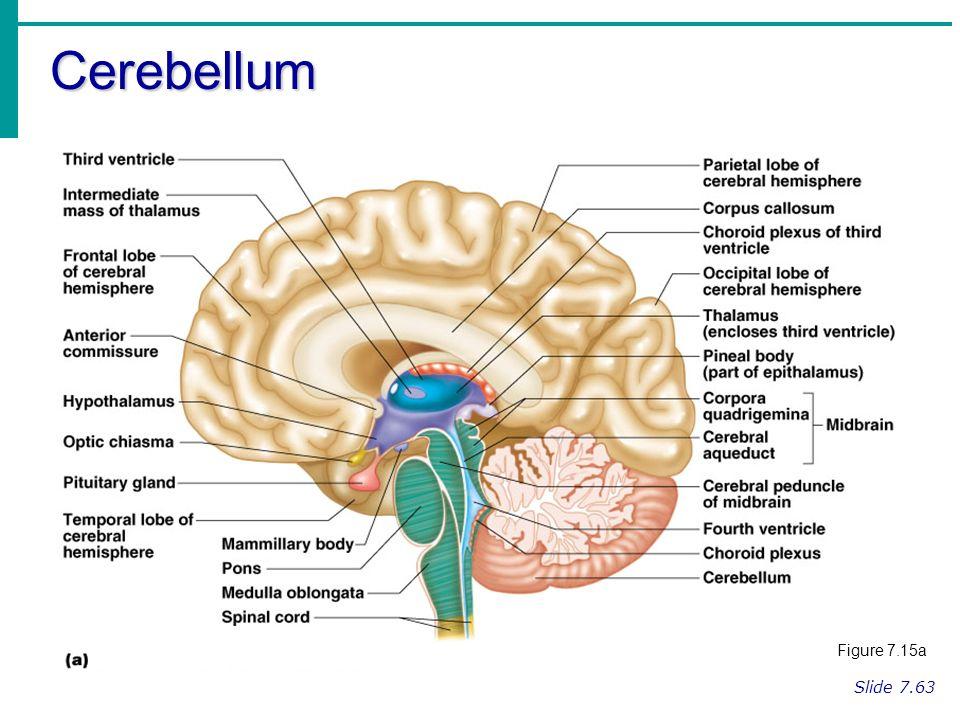 Regions of the Brain Cerebral hemispheres Diencephalon Brain stem ...