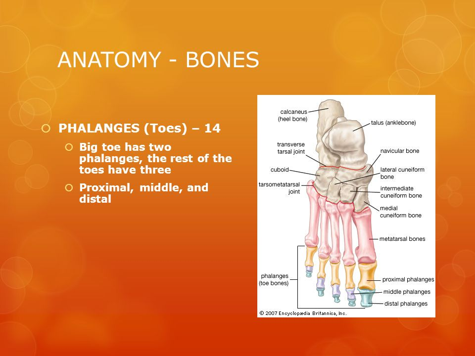 CHAPTER 15 – FOOT, ANKLE AND LOWER LEG - ppt video online download