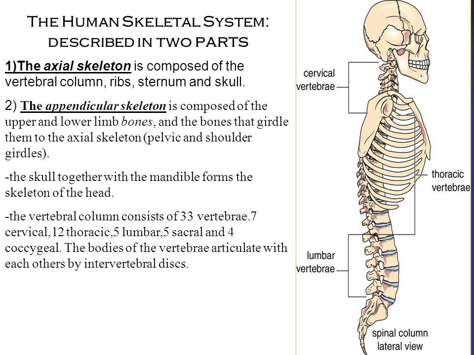 The human skeleton Humans skeletal system is composed of bones ...