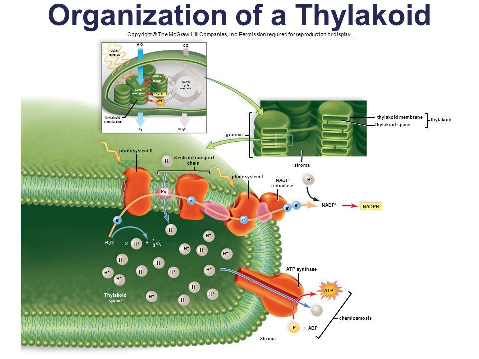 Organization Of A Thylakoid